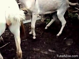 Donkey gets on top of goat and shoves cock inside its vagina